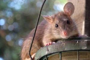 Rat Control, Pest Control in Finsbury Park, Manor House, N4. Call Now 020 8166 9746
