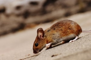 Mice Exterminator, Pest Control in Finsbury Park, Manor House, N4. Call Now 020 8166 9746